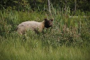 A cinnamon bear by the roadside between Lac La Biche and Fort McMurray, Canada