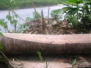 Rio Napo.  This tree will be a canoe.